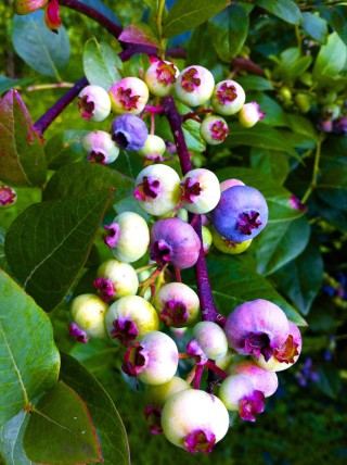 Blueberries contain a lot of anthocyanin