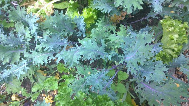 Curly Kale in Garden